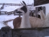 Ich will auch ein Lama